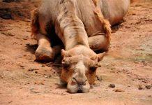 Matarán hasta 10 mil camellos en Australia red es poder