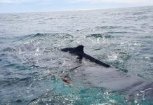 Rescatistan liberan a ballena en peligro de extinción en Baja California red es poder
