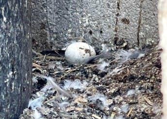 Huevos, pichones, heces fecales, y pumas son la combinación que representan un foco de infección.